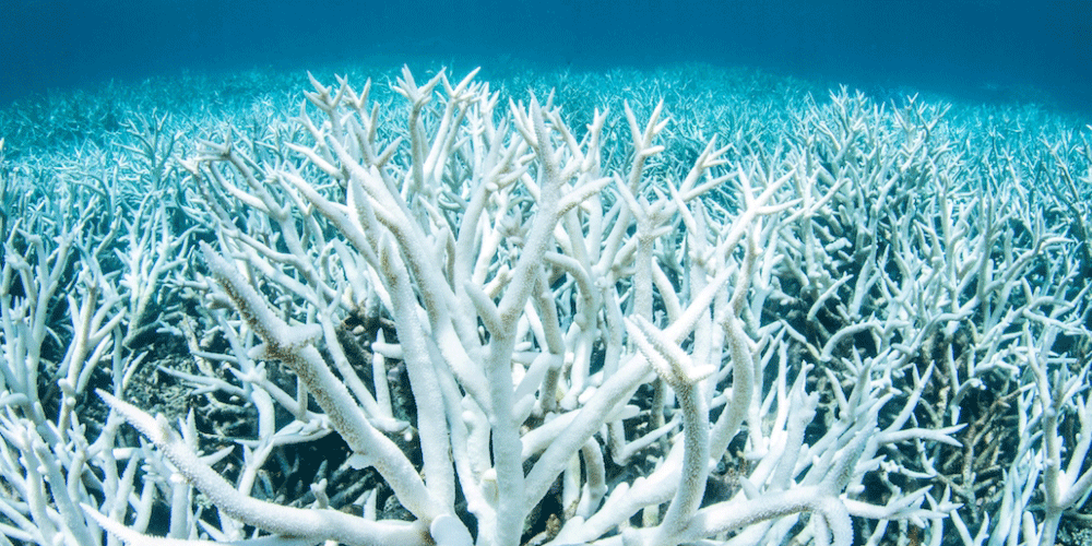 Bleached coral skeletons in the Great Barrier Reef near Port Douglas photographed on Feb. 20. 2017. Credit: Brett Monroe Garner/Greenpeace